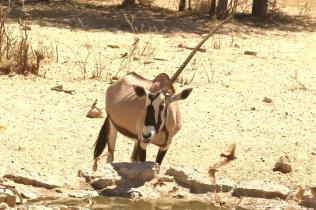Oryx unicorne