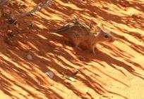 Four stripe Grasse Mouse/Rhabdomys pumilio