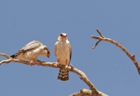 Pygmy Falcon/Fauconnet d'Afrique