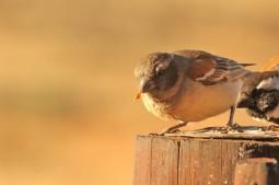 Cape Sparrow/Moineau mélanure fem.