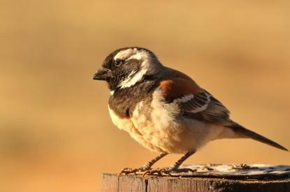 Cape Sparrow/Moineau mélanure male