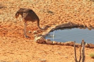 Ostrich/Autruche