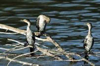 Reed Cormorant/Cormoran africain
