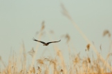 Fish Eagle/Aigle vocifère