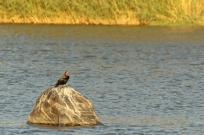 African Darter/Anhinga d'Afrique