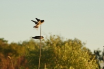 South African Cliff-Swallow/Hirondelle sud-africaine