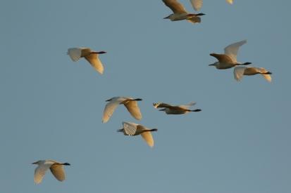 Cattle Egret/Héron garde-boeufs