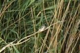 Pied Kingfisher/Martin-pêcheur pie