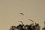 African sacred Ibis/Ibis sacré